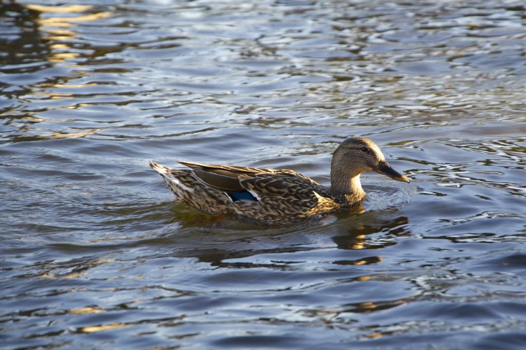 como-duck